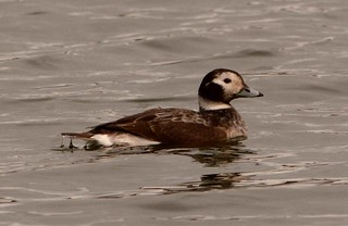 Female Long tailed Duck SWT Lackford Lakes