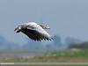 Bar-headed Goose (Anser indicus) by gilgit2