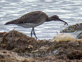 Whimbrel (Numenius phaeopus) | by Brian Carruthers-Dublin-Eire