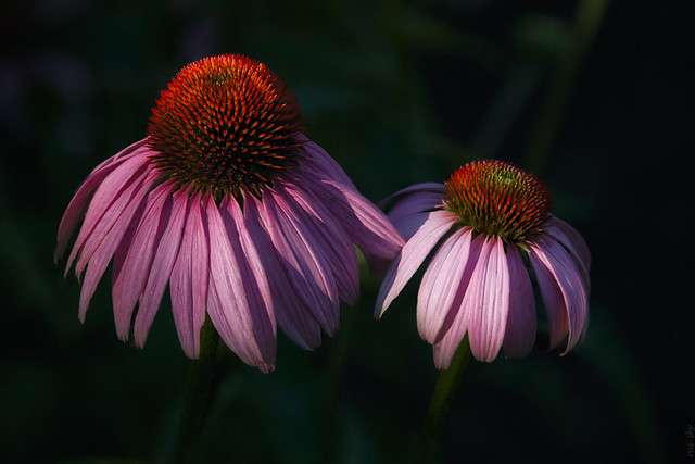 RUS49986(Couple of flowers (Echinacea))