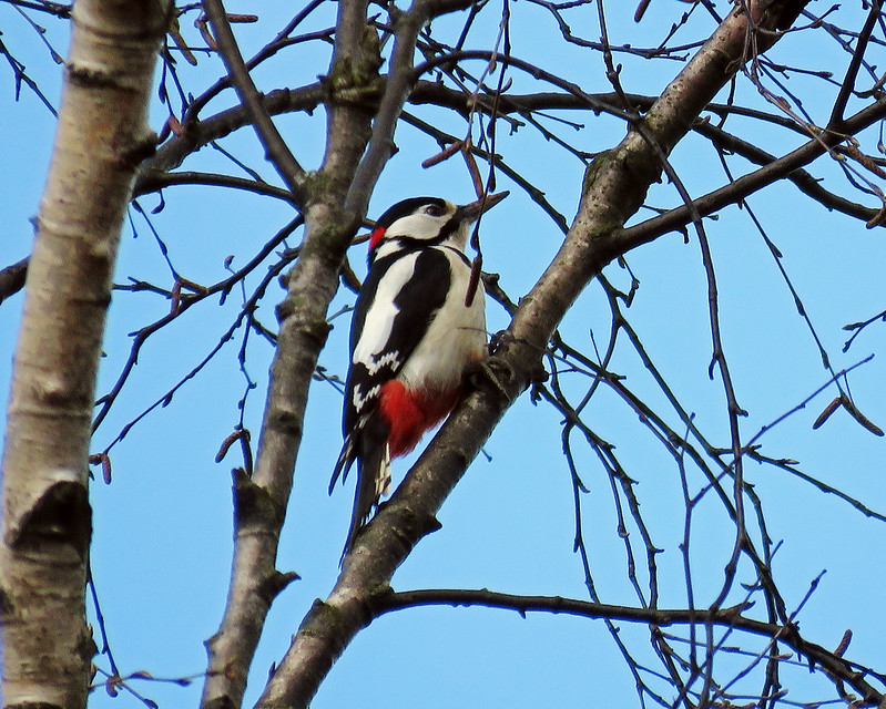 Great Spotted Wodpecker - Dendrocopos major