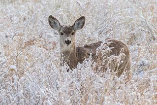 Mule Deer doe keeping watch   by TonysTakes