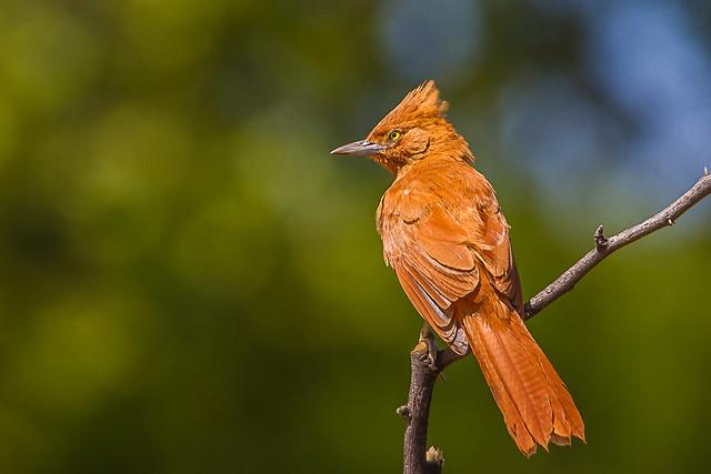 Caatinga Cacholote - Brazilian Birds - Species # 178