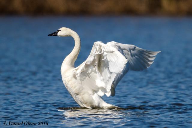 Tundra Swan takes a stretch