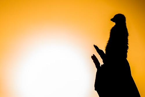 park uk light sunset shadow england orange sun white black macro nature animal yellow sunrise lens zoo meerkat nikon colours wildlife oxford creature tamron 90mm oxfordshire sillhouette meercat d800 lightroom burford cotswold