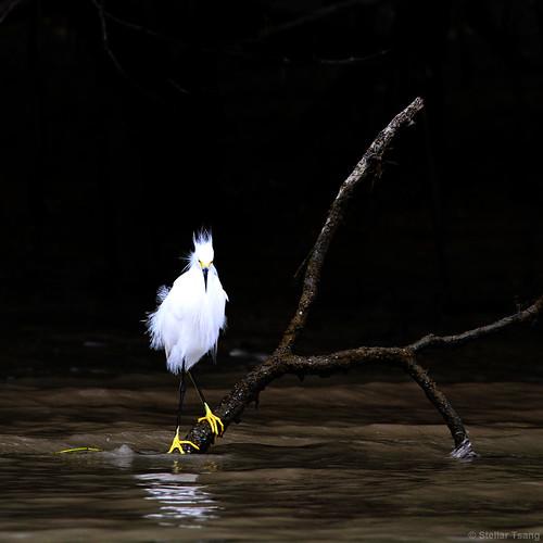 snowyegret suriname egrettathula wildlifephotography surinameriver neotropicalbirds greenheritagefundsuriname birdsofsuriname surinameriverestuary