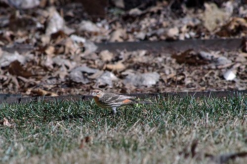 Finch on ground DSC00149 | by gvance2755