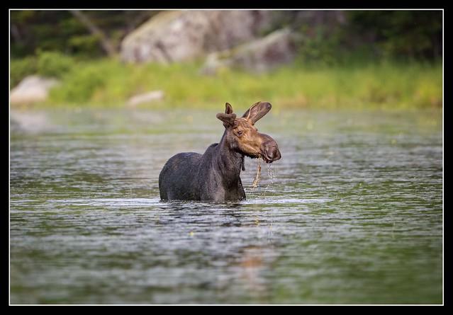 Moose Buffet