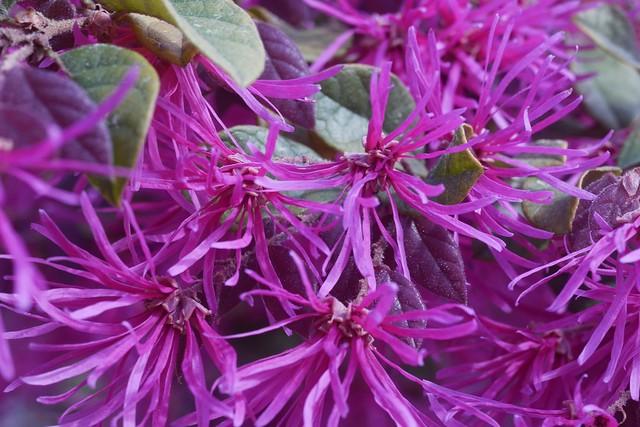 月, 2016-03-21 10:53 - Chinese fringe flower ベニバナトキワマンサク