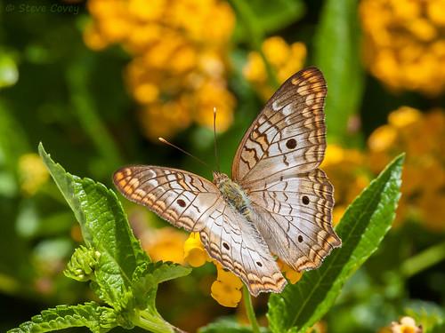 usa macro butterfly insect florida lepidoptera naples whitepeacock nymphalidae anartiajatrophae naplesbotanicalgarden