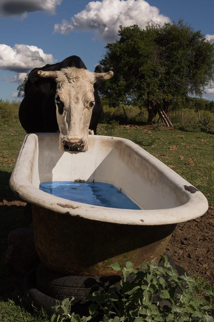 Vaca loca la