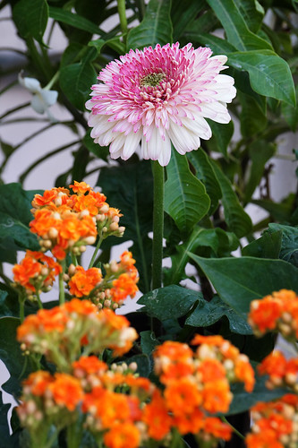 Chrysanthemum - Decorative Flower 15 | by Akbar - Web Designer and Freelance Photographer