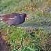 Oiseaux - Gruiformes
