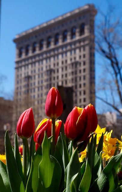Flat Iron Tulips