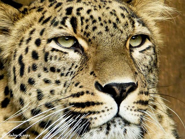 North Persian Leopard - Allwetterzoo Munster
