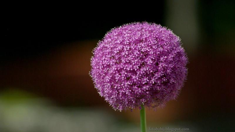 Allium Ambassador, czosnek ozdobny kwiatostan