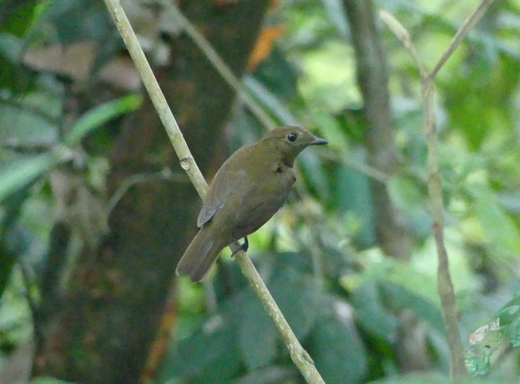 Saltarín Turdino, Thrush-like Schiffornis, Russet-winged Schiffornis (Schiffornis stenorhyncha) (Schiffornis turdinus) (Schiffornis turdina)