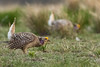 Sharp-tailed Grouse (Tympanuchus phasianellus) on the lek by bcbirdergirl