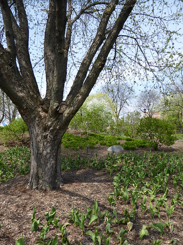 plants tree nature landscape spring flora tulips lilaciapark lombardil