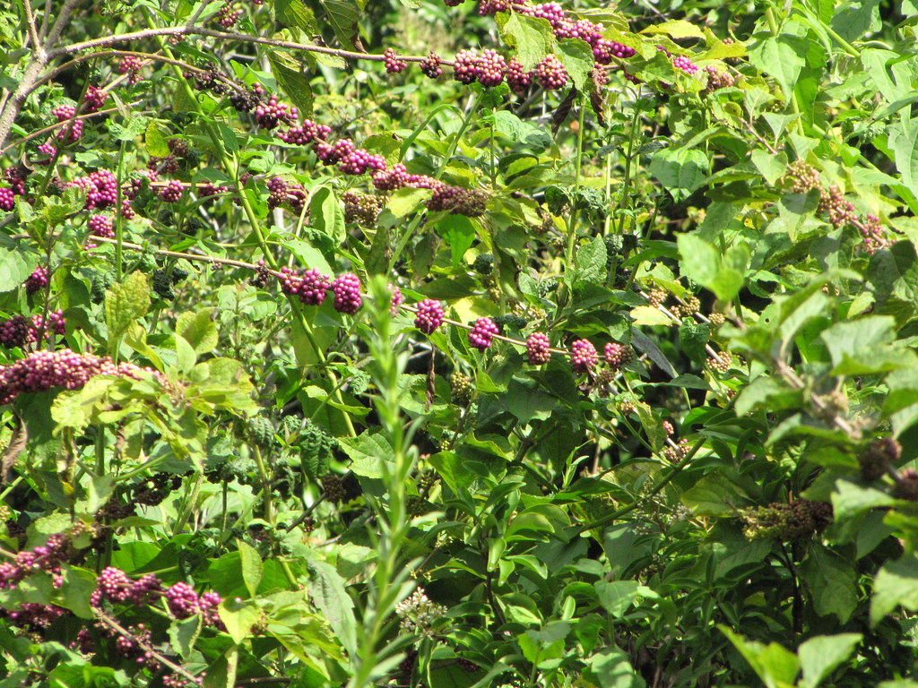 starr-090925-6144-Callicarpa_americana-habit-Green_Cay_Wetlands_Boynton_Beach-Florida