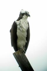 Osprey, Sirenia Vista, FL 1/13/2016