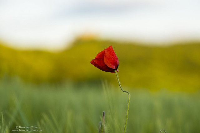 Poppy flower and the castle N°3