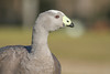 Cape Barren Goose (Cereopsis novaehollandiae) by George Wilkinson