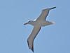 Royal Albatross 3-12-15 by Carol Riddell