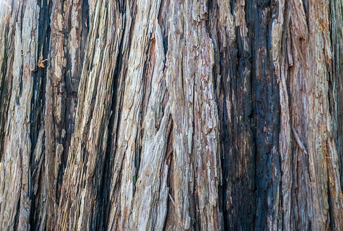 california park ca trees texture closeup us afternoon unitedstates outdoor background saratoga treetrunk sequoia sanborncountypark santaclaracountyparks sequoiapetersongrove