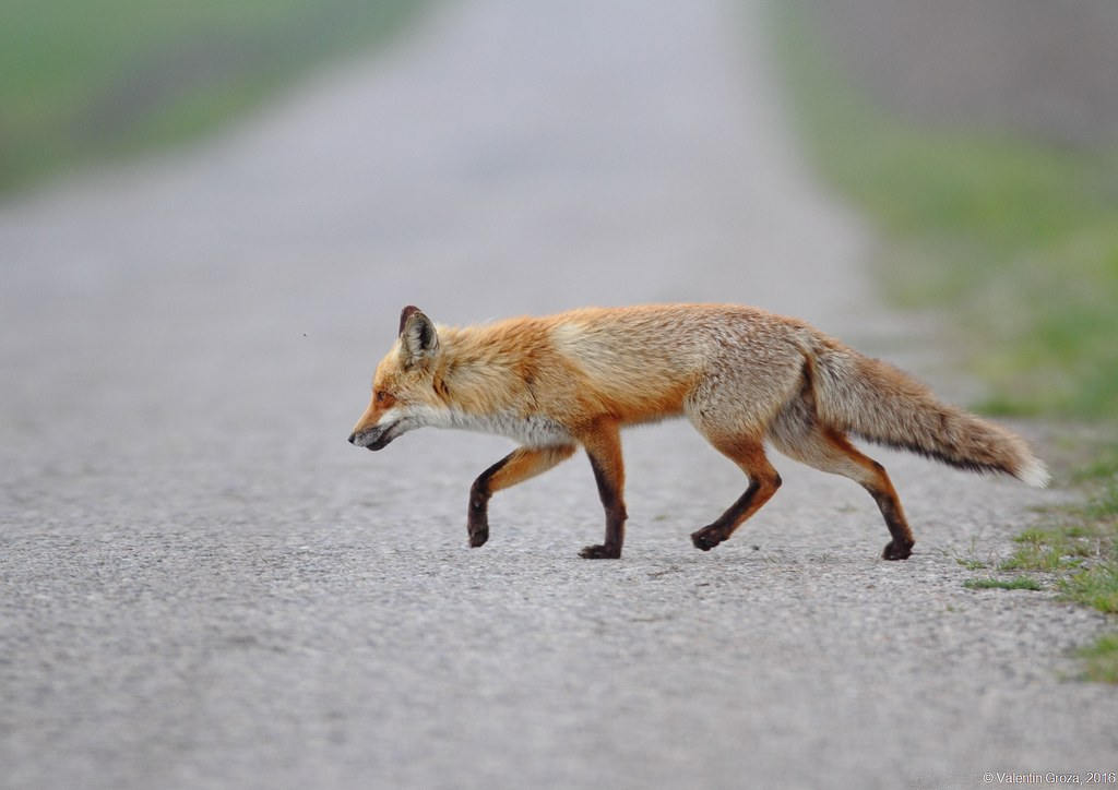 wild red fox 1