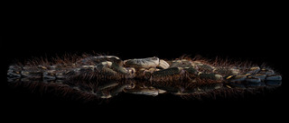 Poecilotheria sp. Lowland   by mygale.de