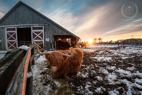 winter sunset ny cold barn evening li nikon farm wideangle bull bulls longisland d750 february northfork 2016 jamesport nofo marthaclara marthaclarawinery progrey nikkor1635mmf4vr jschusteritsch lucroit northforker