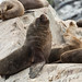 South American Sea Lion - Photo (c) Sergey Pisarevskiy, some rights reserved (CC BY-NC-SA)