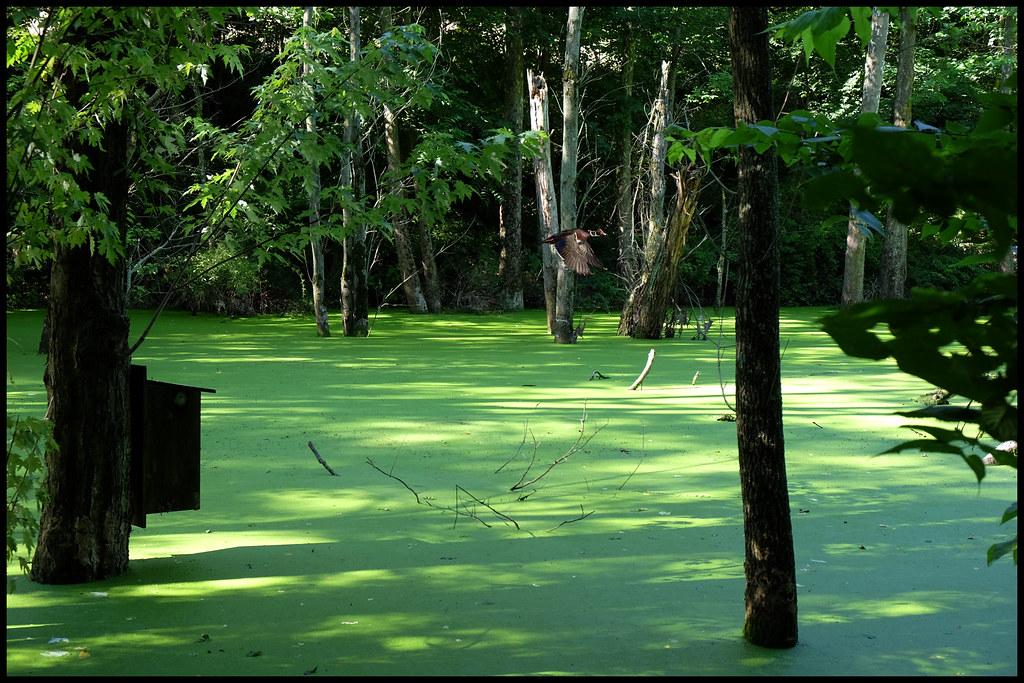 7-5-14 - Wood Duck Pond