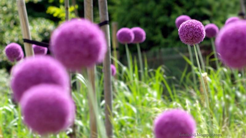 Allium hybridum, czosnek ozdobny