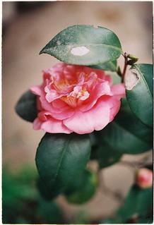 camellia | by salazar62