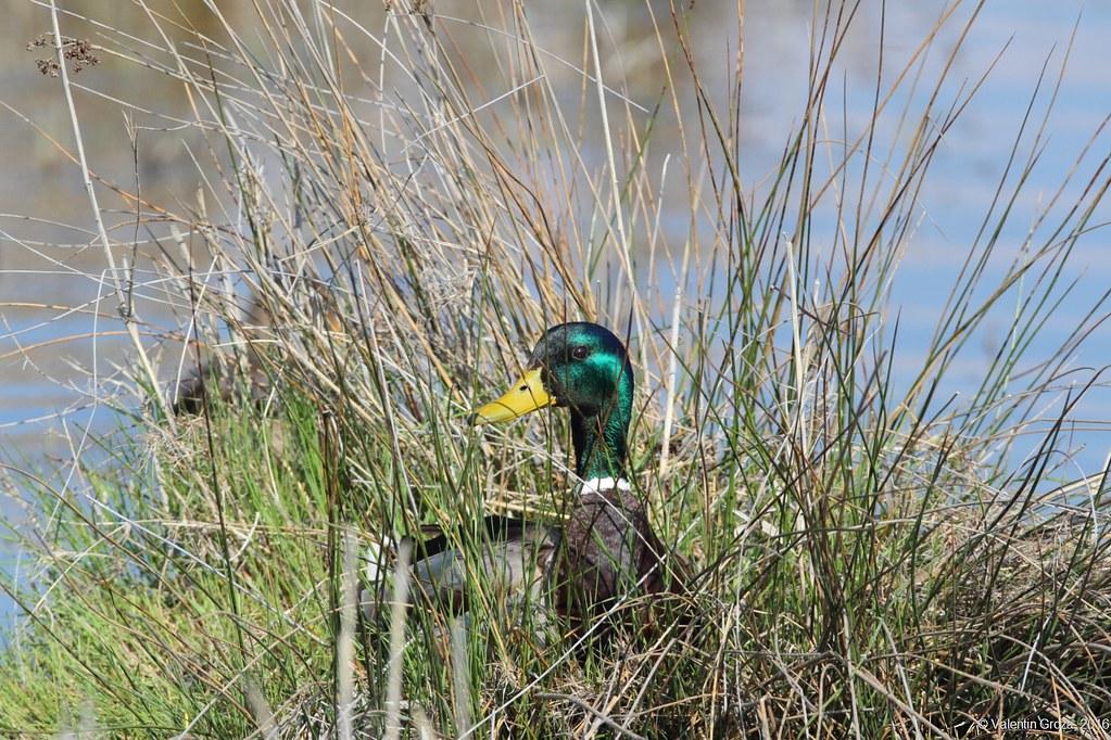 wild duck 01