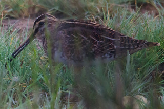 Snipe (Gallinago gallinago) | by Brian Carruthers-Dublin-Eire