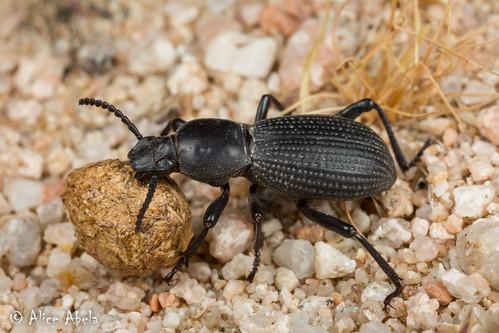 Tenebrionid (Cerenopus concolor)   by aliceinwl1