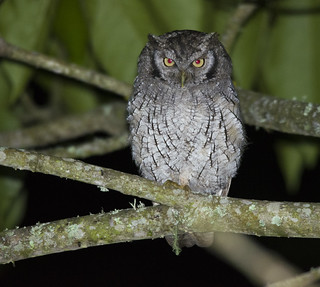 Megascops choliba  Tropical screech-Owl  Currucutu comun | by mapalinabirdingtrails