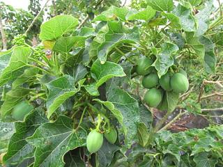 starr-120620-7517-Jatropha_curcas-fruit_and_leaves-Kula_Agriculture_Park-Maui