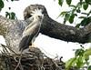 Harpy eagle/Gavião-real/Harpía (Harpia harpyja) (young in nest) by Héctor Bottai