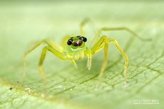 Jumping spider (Onomastus sp.) - DSC_6162