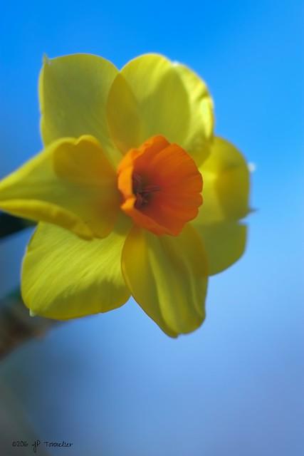 Narcisse sur ciel bleu