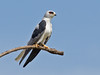 White-tailed Kite (Elanus leucurus) by Rodrigo Conte