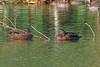 Meller's Duck, Lac Alarobia, Madagascar by Terathopius