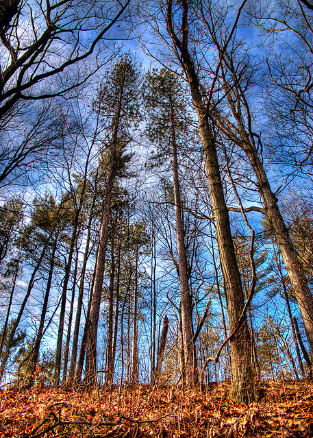 Tall Trees HDR