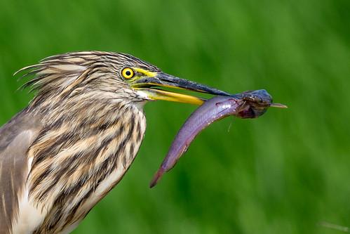 nature indian birding kerala kol thrissur 2016 padam birdsofkerala