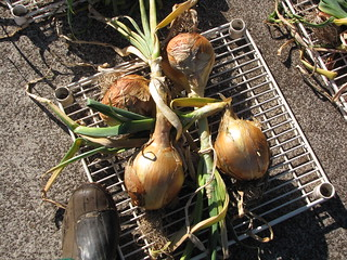 starr-110822-8290-Allium_cepa-cv_Candy_harvested_and_drying-Hawea_Pl_Olinda-Maui   by Starr Environmental
