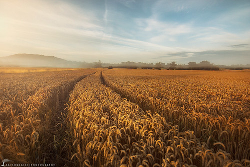 morning sunrise golden somerset somerton cropfield